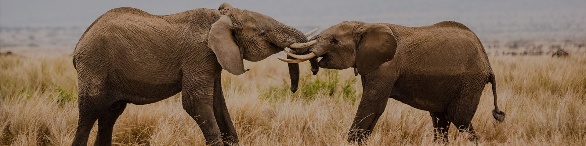 Two elephants face each other and cross trunks.